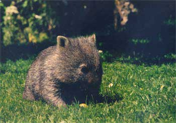Wombat