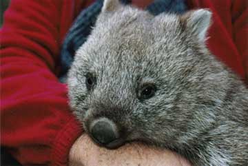 Bindi the wombat grows up